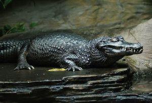 Rợn người nhìn 'sát thủ săn mồi' hung dữ nhất của vùng đầm lầy Amazon ra đòn