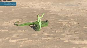 Hai con rắn mamba lục kịch chiến giành bạn tình trên bãi biển