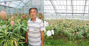 """Lạ đời cây xoài """"siêu mắn"""" cho 800 quả, chủ vườn cho đi """"ứng tuyển"""" kỉ lục Guinness thế giới"""