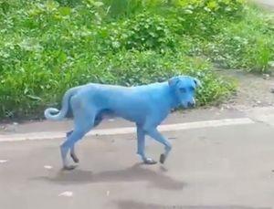 Đàn chó hoang biến thành màu xanh kỳ dị ở Ấn Độ