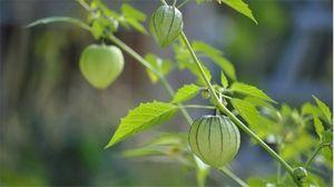 Cây tầm bóp trị viêm họng, đái tháo đường, nhưng chớ nhầm lẫn với cây lu lu mà ngộ độc