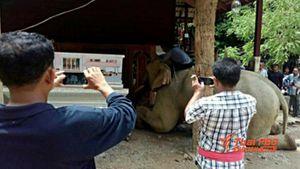 Xúc động với chú voi quỳ gối trước quan tài chủ nhân