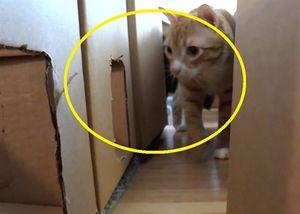 Người đàn ông dùng hộp các - tông xây dựng dải mê cung ấn tượng cho mèo