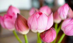 Mẹo giữ hoa sen tươi lâu nhất