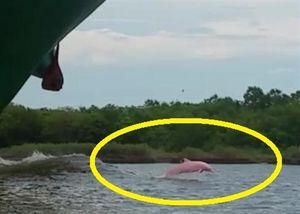 Tận mục cảnh cá heo hồng hiếm thấy bơi gần thuyền ở bang Louisiana