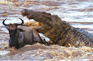 Clip: Bầy cá sấu 'tàn sát' linh dương đầu bò