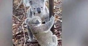 Koala mẹ cứu con mắc vào hàng rào dây thép gai