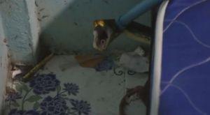 Trăn lẻn vào nhà dân săn mèo rồi trốn dưới gầm giường
