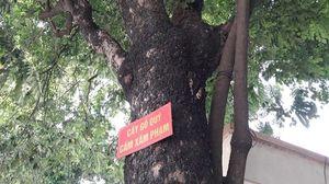 Cận cảnh cây sưa cổ thụ trị giá hàng chục tỉ đồng trước cổng Bệnh viện Quân y 108