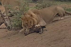 Clip: Sư tử sát hại linh cẩu con cực kỳ dã man
