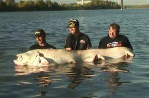 Clip: Câu được cá trê bạch tạng khổng lồ cực kỳ quý hiếm