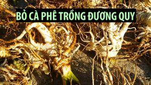 Phá bỏ 10 hecta cà phê trồng đương quy, thu nhập tiền tỉ