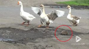 3 chú ngỗng hộ tống nhím con sang đường
