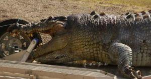 Úc: Cá sấu khổng lồ bị bắn thủng sọ, nguy cơ 'bạo loạn'