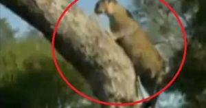 Cái kết bất ngờ cho 'màn đua tài leo cây' giữa báo đốm và sư tử