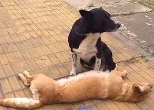 Chó trung thành canh xác bạn bị xe cán chết suốt đêm