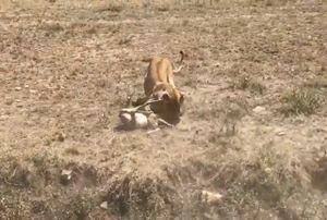Clip: Vấp ngã khi chạy trốn, linh dương Antilope bị sư tử hạ sát