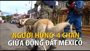 'Người hùng 4 chân' giữa động đất Mexico