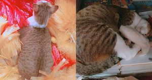 Chú mèo đực ú na, ú nần đi đâu cũng bị nhầm là… có bầu