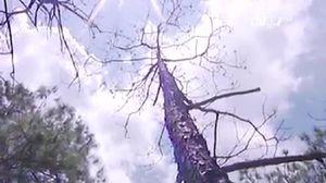 Lâm Đồng: đổ thuốc diệt cỏ đầu độc 210 cây thông