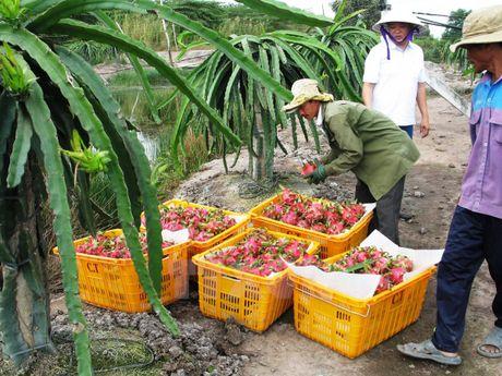 Tu 1/6: Dai Loan nhap khau tro lai thanh long cua Viet Nam - Anh 1