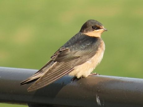 Kham pha hay ho ve loai chim en quen thuoc - Anh 4