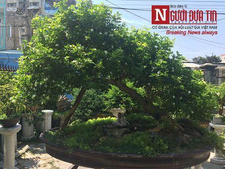 Gap nguoi thoi hon dieu khac da vao nghe thuat bonsai tai Da Nang - Anh 4