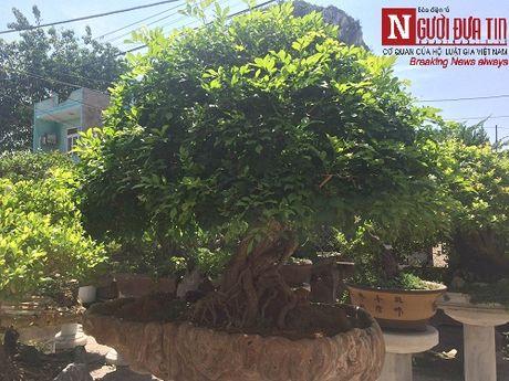 Gap nguoi thoi hon dieu khac da vao nghe thuat bonsai tai Da Nang - Anh 5