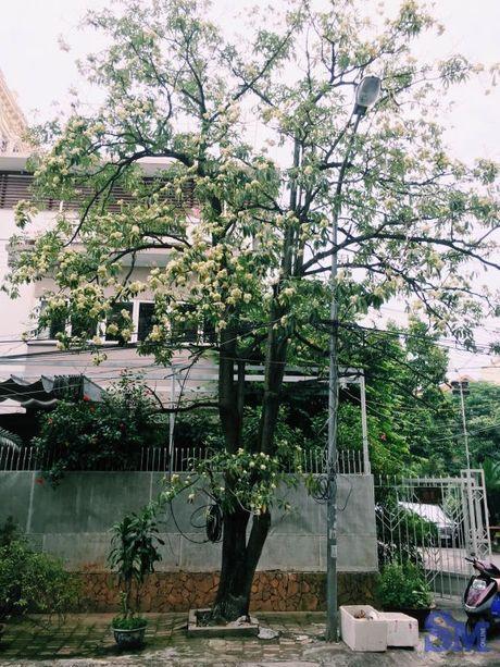 Hoa sua van ngot ngao dau pho dem dem - Anh 3