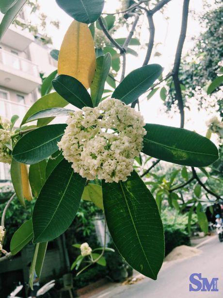 Hoa sua van ngot ngao dau pho dem dem - Anh 5