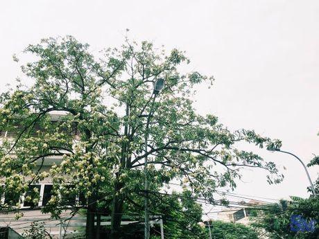 Hoa sua van ngot ngao dau pho dem dem - Anh 6