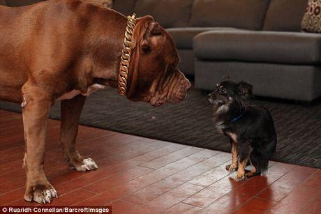 Tinh ban than thiet giua cho pitbull khong lo va cho chihuahua be xiu - Anh 2