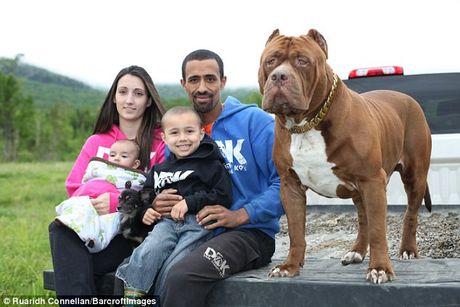 Tinh ban than thiet giua cho pitbull khong lo va cho chihuahua be xiu - Anh 4