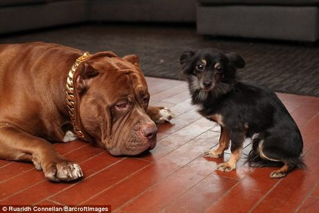 Tinh ban than thiet giua cho pitbull khong lo va cho chihuahua be xiu - Anh 9