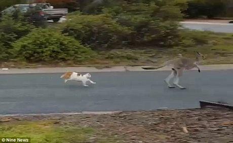 Meo ruot duoi kangaroo chay ban song ban chet tren pho - Anh 2
