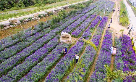 Gioi tre phat sot voi vuon hoa oai huong tren cao nguyen Lao Cai - Anh 1