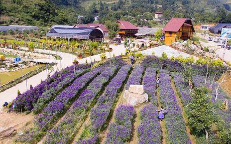 Gioi tre phat sot voi vuon hoa oai huong tren cao nguyen Lao Cai - Anh 2