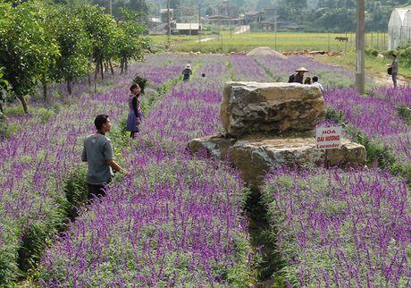 Gioi tre phat sot voi vuon hoa oai huong tren cao nguyen Lao Cai - Anh 7