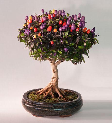 Nghe thuat tuyet dep cua nhung cay bonsai - Anh 13
