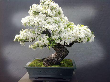 Nghe thuat tuyet dep cua nhung cay bonsai - Anh 5