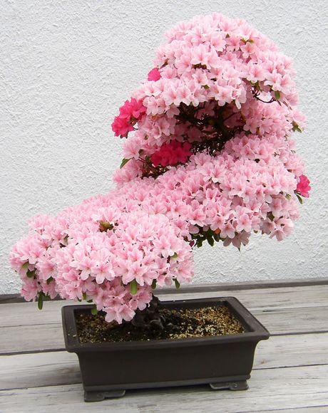Nghe thuat tuyet dep cua nhung cay bonsai - Anh 7