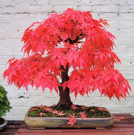 Nghe thuat tuyet dep cua nhung cay bonsai - Anh 8