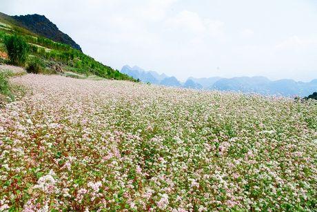 Ngam hoa tam giac mach dep mo mang giua nui rung Tay Bac - Anh 1