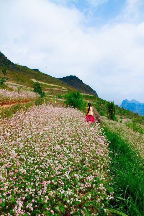 Ngam hoa tam giac mach dep mo mang giua nui rung Tay Bac - Anh 4