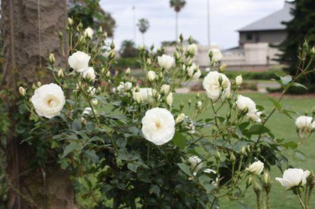 Khu vuon hon 1.800 cay hoa hong no ruc ro - Anh 9
