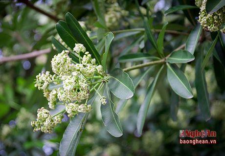 Hoa sua o pho Vinh - Anh 3
