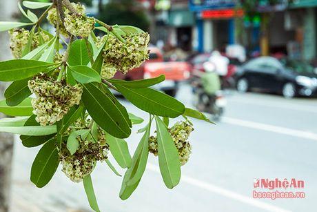 Hoa sua o pho Vinh - Anh 8
