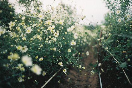 Dam minh trong nhung canh dong hoa tuyet dep ngay gio ve - Anh 10