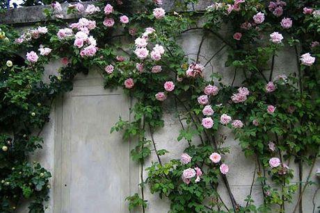 Ky thuat trong hoa hong leo quanh nha hoa no quanh nam - Anh 2