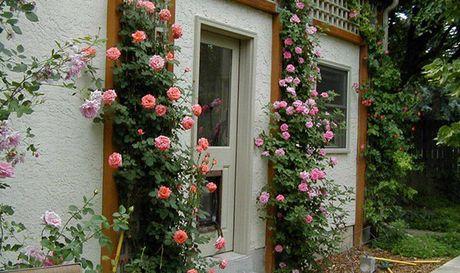 Ky thuat trong hoa hong leo quanh nha hoa no quanh nam - Anh 3